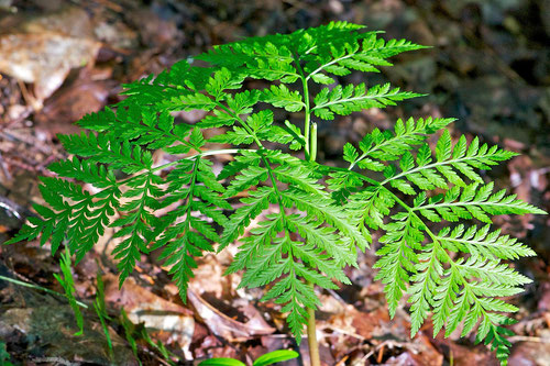 This Rattlesnake Fern (Botrychium virginianum), a variety of Grape Fern, is growing on a calcium-rich hillside at Distant Hill we call 'Rattlesnake Knoll'.