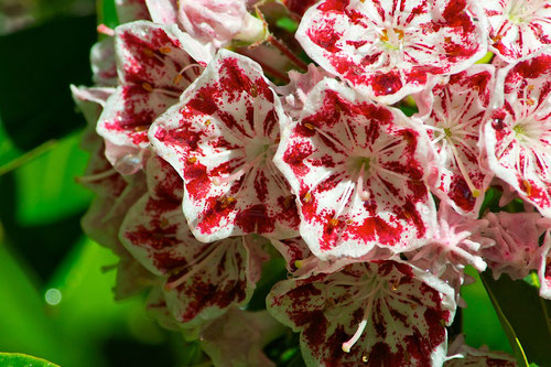 Mountain Laurel (Kalmia latifolia 'Carousel')