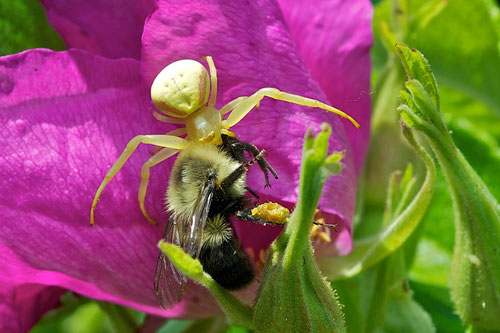A Goldenrod Crab Spider preying on a bumble bee on a pink Rugosa Rose.