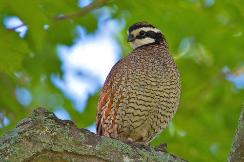 A male Northern Bobwhite, Colinus virginianus on Distant Hill in Walpole, New Hampshire.