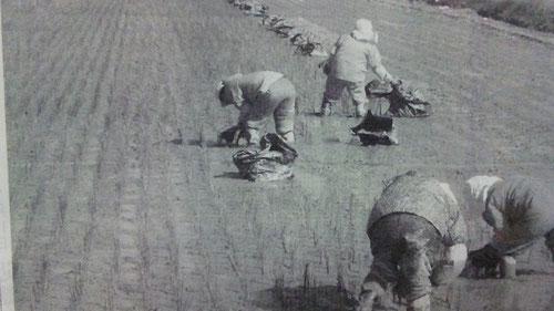 熊本県八代市千丁町 藺植え作業