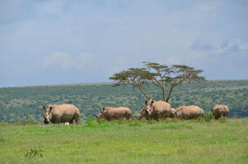Solio Ranch an dem Tag haben wir ca. 40 Nashörner gesehen, traumhaft!