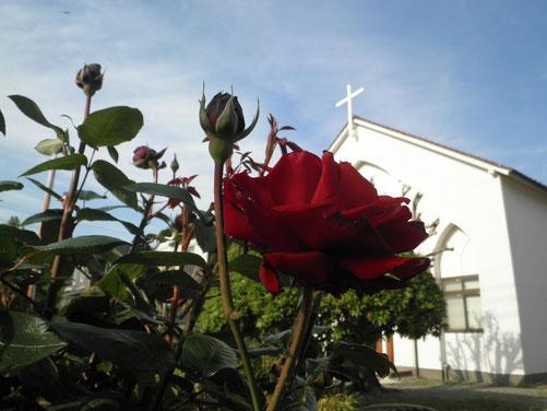 十字架をバックに真紅の薔薇