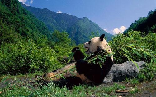 四川省臥竜自然保護区で食事中のパンダ(優雅でいいなぁ~)