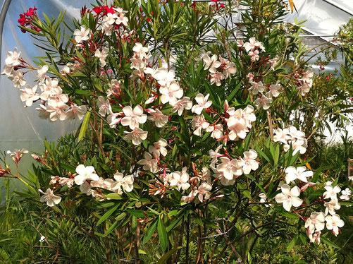Oleander 'Harriet Newding'