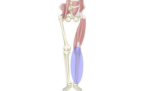 下腿部の筋肉