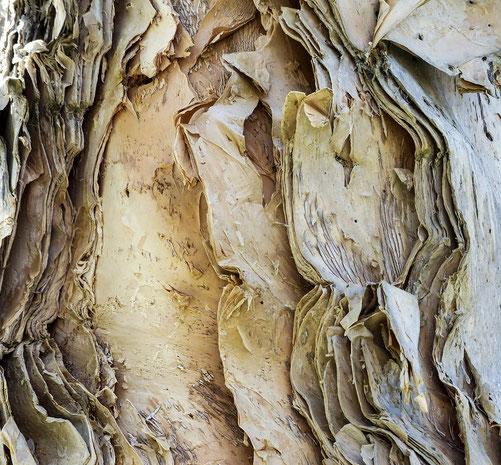 Die Rinde eines Eukalyptus Baumes - Daraus entsteht Lyocell