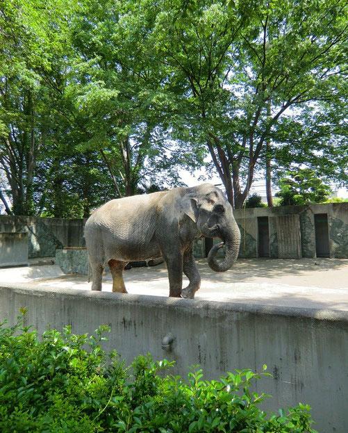 5月21日(2013) 緑の中のはな子(井の頭自然文化園:武蔵野市)