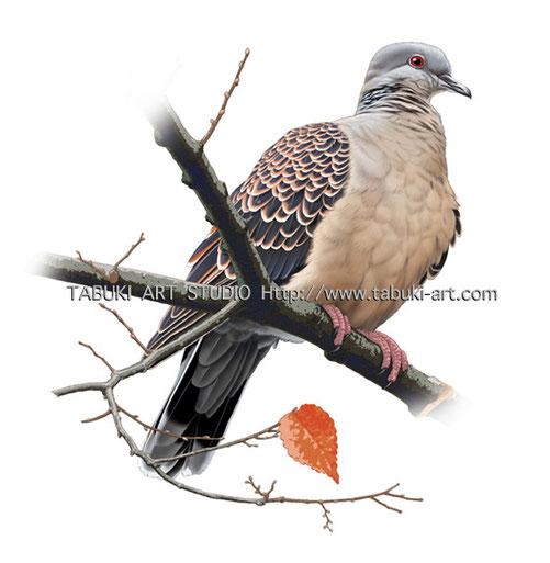 雉鳩 野鳥画 野鳥イラスト wildbird illustration