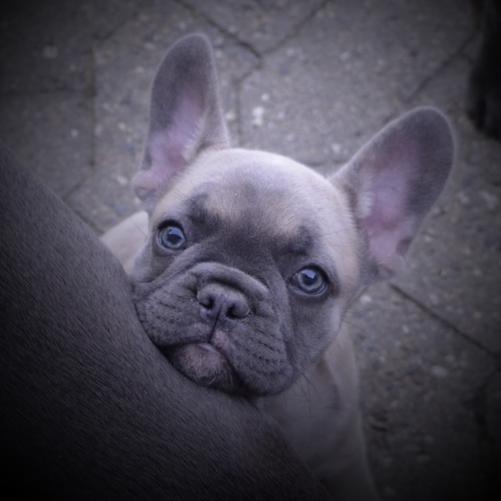 Zuchtziel Zucht Von Franzosischen Bulldoggen
