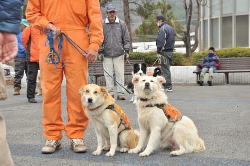 福島からきた被災犬キヌとイッチョウも活躍している
