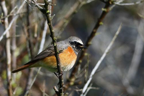 Der Gartenrotschwanz ist einer unserer prächtigsten Singvögel. Er hat aber in den letzten Jahrzehnten im Mittelland viel Terrain eingebüsst. Foto Martin Leuenberger