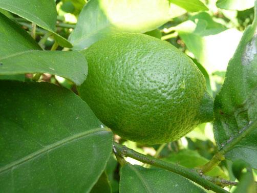 Lemon-20131002