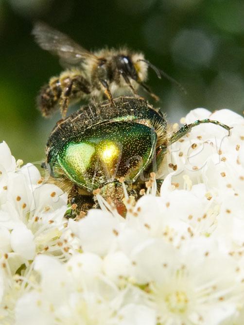 16.05.2021 : Rosenkäfer, der von einer männlichen Rostroten Mauerbiene attakiert wird, während er Blütenteile der Säuleneberesche vertilgt