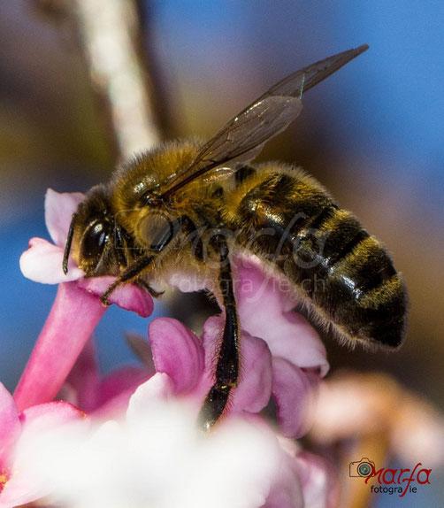 Makro Insekten Bienen Fotografie