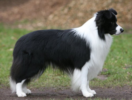 © Danari Border Collies