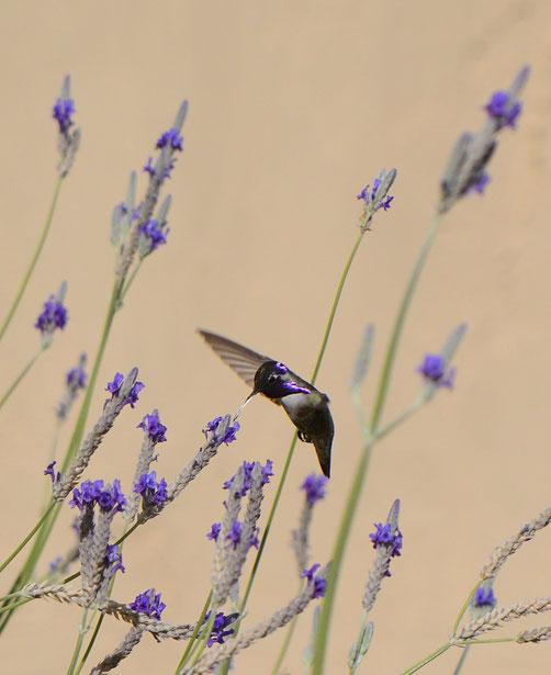 male Costa's hummingbird and Lavandula multifida