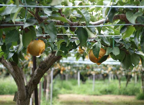 9月3日(2019) 稲城の梨:多摩川をはさんで調布市や府中市の対岸に位置する稲城市。江戸時代から多摩川の沿岸で梨の栽培が行われ、稲城・新高・豊水・幸水などの品種を味わうことができます
