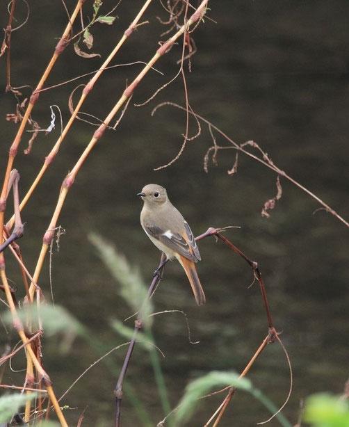 11月8日(2014) ジョウビタキ来たる:三鷹市にお住まいの武田さんのご投稿。10月31日に野川沿いで撮影。メス、オスは頭上が白い。冬によく目にする渡り鳥です