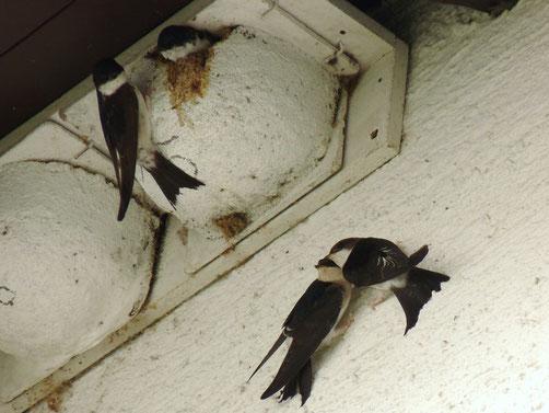 Mehlschwalben am Nest