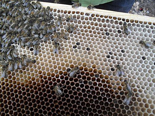Tote Bienen stecken auch in den Zellen. Sie sind wohl bei der Futteraufnahme gestorben.
