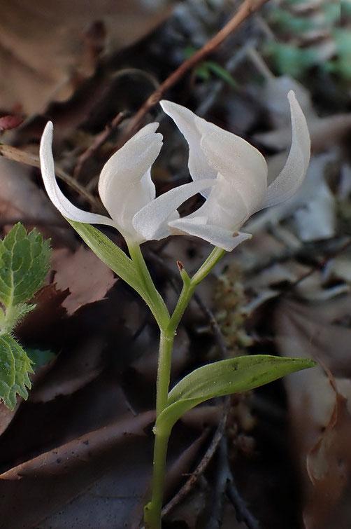 ユウシュンランの花の側面