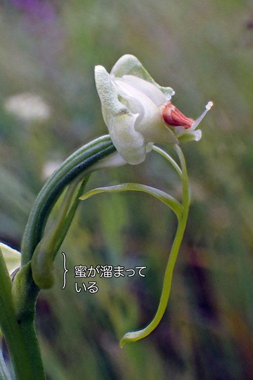 ミズトンボの花の側面