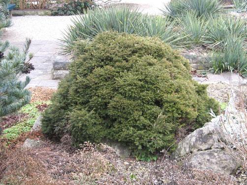 Die niedere Balsamtanne (Abies balsamea ´Nana´) eignet sich als Zwergkonifere auch für kleinere Gärten. Sie wird maximal 1m hoch und wächst sehr langsam.