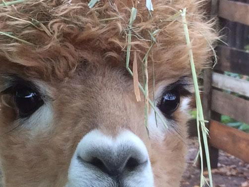 Das ist Dór, einer der Alpaka-Jungs auf Marias Hof.