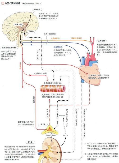 血圧の調節は心臓以外に脳や腎臓も深く関係します。