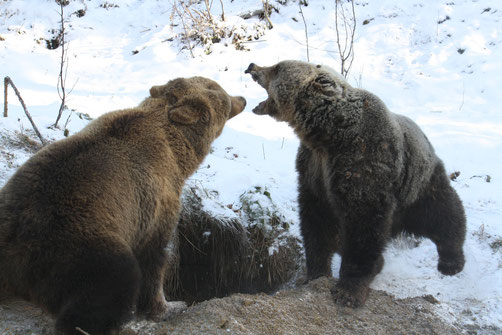 Bears Nastasija and Seida in front of natural den in wintertime | © FOUR PAWS International - Vier Pfoten International
