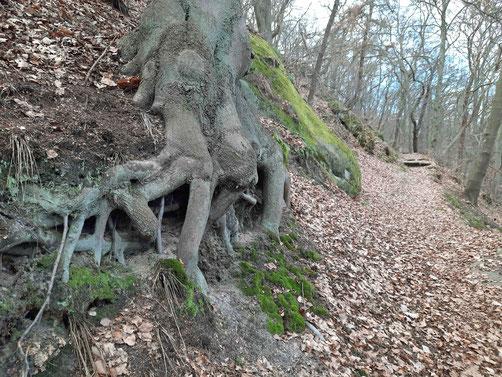 Ein Wanderweg mit alten Bäumen und viel Laub an der Teufelsmauer bei Blankenburg im Harz.