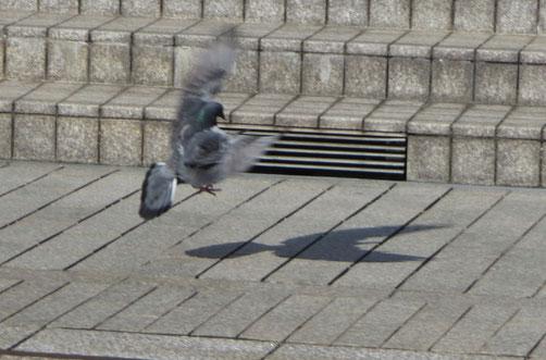 鳩が舞い上がる瞬間!自分の影と遊んでいるのか対峙しているのか…踊っているみたい…なんだか楽しそうでした。
