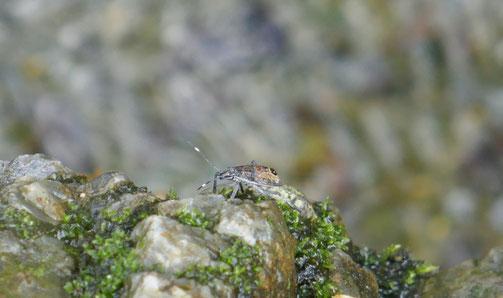 京都御苑・出水の小川できれいな虫がいるのを2歳児の生徒が見つけました。