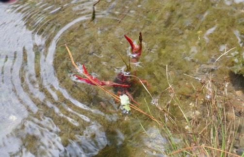 京都御苑・出水の小川の中にザリガニがいました。棒でつつくと、怒ってはさみを振り上げました。