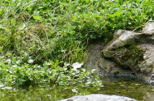京都御苑・出水の小川にちょうちょがヒラヒラ飛んでいました。