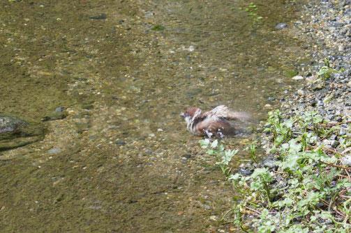 京都御苑の出水の小川で、暑いのか、すずめが水を浴びていました。
