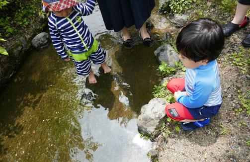 幼児教室の未就園児・母子分離クラスが京都御苑の出水の小川で水遊びをしていると、水の中に何か生き物がいるのを発見しました。