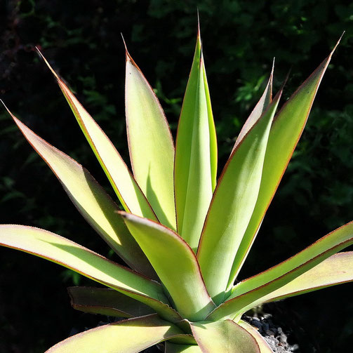 Agave Red Margin