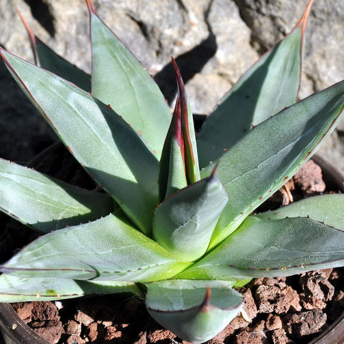 Agave Burnt Burgundy