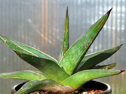Agave nickelsiae x lechuguilla?
