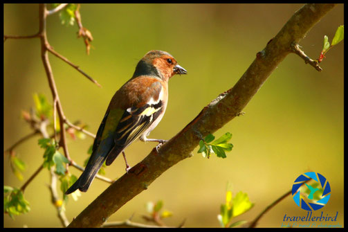 Common chaffinch in the sunset