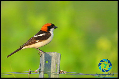 Woodchat shrike on a fence