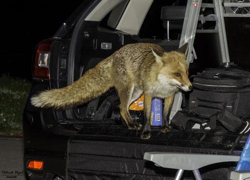 Besuch während einer Astronacht auf dem Gurnigel :-) Fux du hast den Käs gestohlen :-D