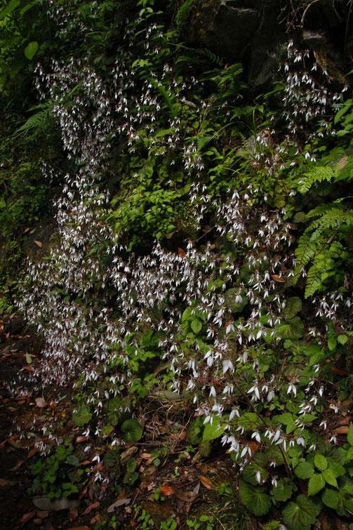 ユキノシタの群生  湿った半日陰地の岩場などに自生する、常緑の多年草。
