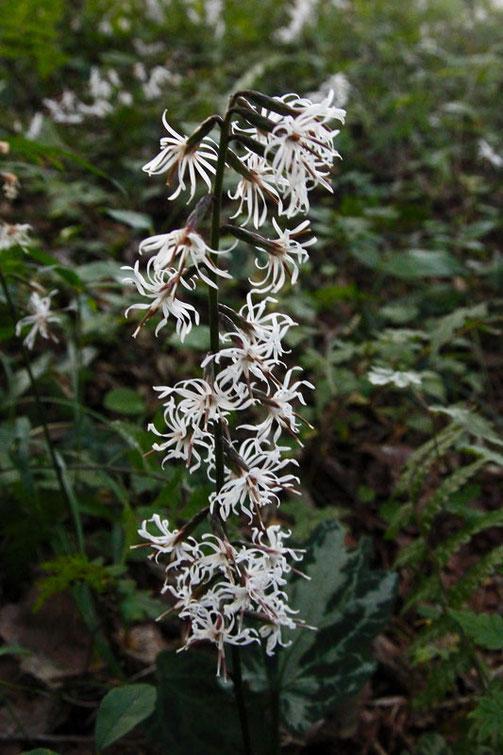 テイショウソウのこの個体の頭花は23個