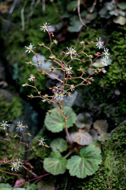 ホシザキユキノシタは筑波山のみに生育します。 茨城県RLで絶滅危惧1A類