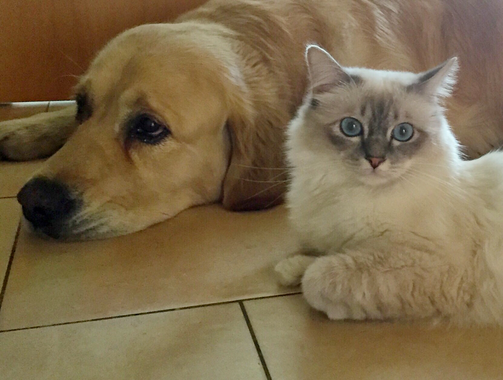 Birma-Kater Joe mit Golden Retriever Tarek