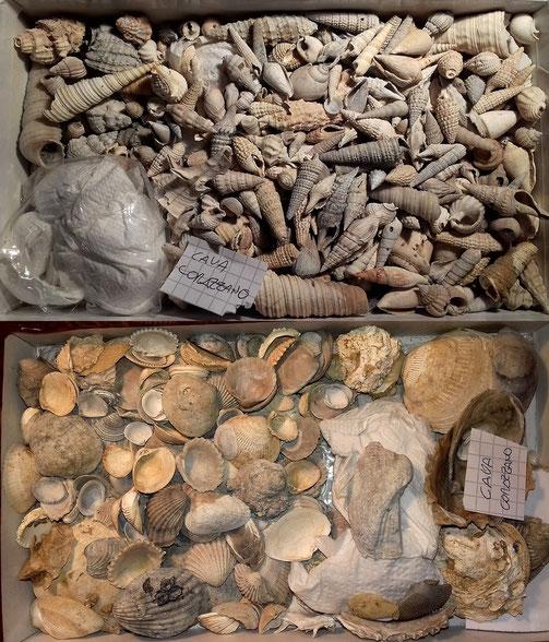 Alcuni dei fossili rinvenuti nella cava Corazzano.