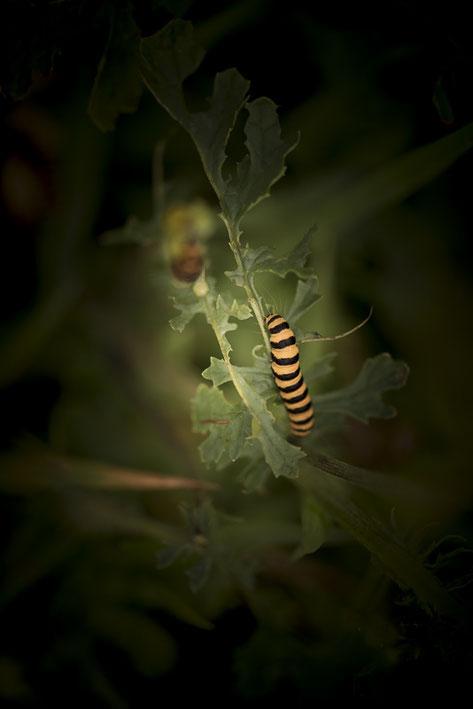 Geel zwarte zebrarups van de st. Jacobsvlinder